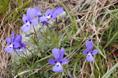 Dubys Stiefmütterchen/Viola dubyana