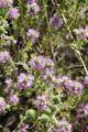 Duft-Thymian/Thymus odoratissimus