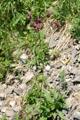 Ancolie noirâtre/Aquilegia atrata