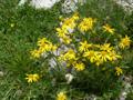 Eberreisblättriges Greiskraut/Senecio abrotanifolius