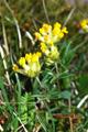 Echter Wundklee/Anthyllis vulneraria ssp. vulneraria