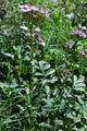 Echtes Seifenkraut/Saponaria officinalis