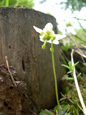 Pyrole à une fleur/Moneses uniflora