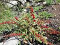 Echter Erdbeerspinat/Blitum virgatum (Foto: R. Gasparoli)