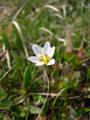 Falangio alpino/Lloydia serotina