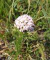 Feinblättrige Wiesen-Schafgarbe/Achillea setacea