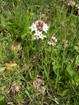 Trifoglio fibrino/Menyanthes trifoliata