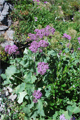 Filziger Alpendost/Adenostyles leucophylla
