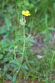 Filziges Sonnenröschen/Helianthemum nummularium ssp. tomentosum