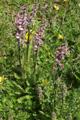 Pédiculaire à bec et en épi/Pedicularis rostratospicata ssp. helvetica