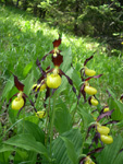 Frauenschuh/Cypripedium calceolus