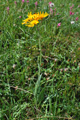 Séneçon doronic/Senecio doronicum