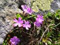 Primevère à feuilles entières/Primula integrifolia