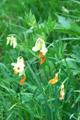 Gelbe Berg-Platterbse/Lathyrus occidentalis
