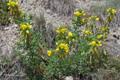 Gelbe Hauhechel/Ononis natrix