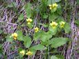 Violette à deux fleurs/Viola biflora