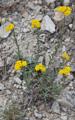 Gelbe Schafgarbe/Achillea tomentosa