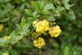 Crespino comune/Berberis vulgare