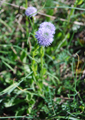 Gemeine Kugelblume/Globularia punctata,  Globularia bisnagarica