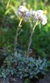 Pied de chat dioïque/Antennaria dioica