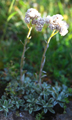 Sempiterni di montagna/Antennaria dioica