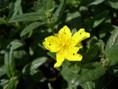 Eliantemo maggiore/Helianthemum nummularium ssp.nummularium