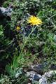 Senecio di Gérard/Senecio doronicum ssp. gerardii