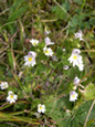 Euphraise tachetée/Euphrasia picta