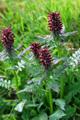 Pédiculaire tronquée/Pedicularis recutita