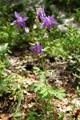 Gemeine Akelei/Aquilegia vulgaris