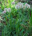 Trèfle hybride/Trifolium hybridum ssp. hybridum