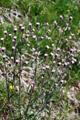 Glänzendes Scharfes Berufskraut/Erigeron acer ssp.politus