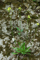 Lunetière lisse/Biscutella laevigata ssp.lucida