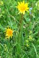 Grannen-Schwarzwurzel/Scorzonera aristata