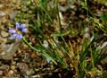 Blumensimse, Grasschwertlilie/Sisyrinchium montanum