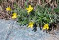 Vitaliana à  feuilles de primevère/Androsace vitaliana ssp. cinerea