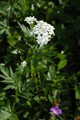 Millefoglio nano, Iva/Achillea macrophylla