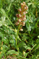 Grüne Hohlzunge/Coeloglossum viride