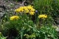 Picris hieracioides ssp. grandiflora