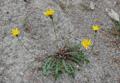 Hainlattichblättriges Milchkraut/Leontodon hispidus ssp. hyoseroides