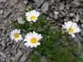 Hallers Margerite/Leucanthemum halleri