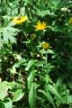 Epervière prénanthe/Hieracium prenanthoides
