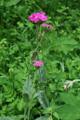 Silène fleur de Jupiter/Silene flos-jovis
