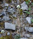 Drave siliqueuse/Draba siliquosa