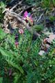 Oxytropis  carinthiaca