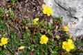 Eliantemo glabro/Heianthemum nummularium ssp. glabrum