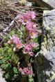 Kalk-Hauswurz/Sempervivum calcareum