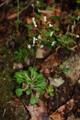Saxifrage à feuille en coin/Saxifraga cuneifolia