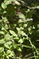 Kleinblütige Bergminze/Calaminthae nepetoides