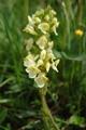 Pédiculaire tubéreuse/Pedicularis tuberosa